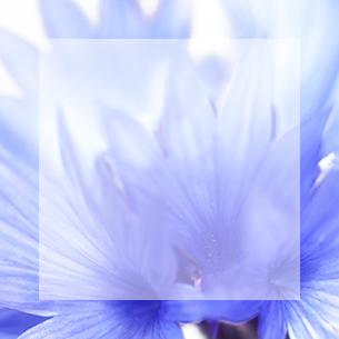Centáurea Azul